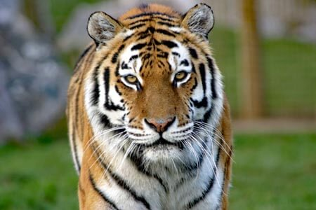 An Amur Tiger at Marwell Wildlife Park