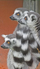 Ring Tailed Lemur at Marwell in Hampshire.